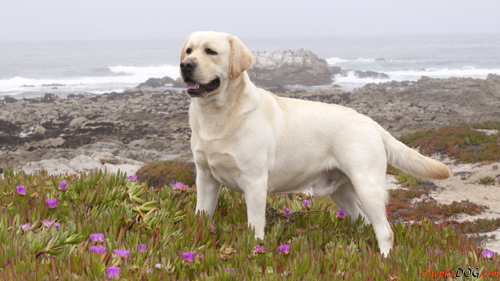 Labrador peludo branco