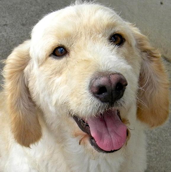 doa o de cachorro adulto macho   pelo longo e de porte