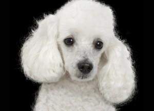 Poodle toy e micro toy: conheça as diferenças e as ...