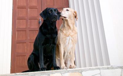 Casal de cães no cio