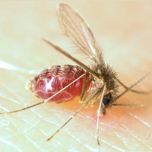Mosquito palha, transmissor da Leishmaniose