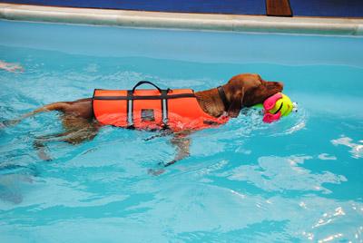 Cão nadando com colete