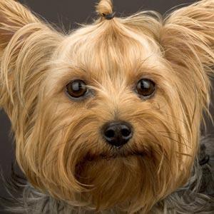 Yorkshire, o melhor cão para apartamento
