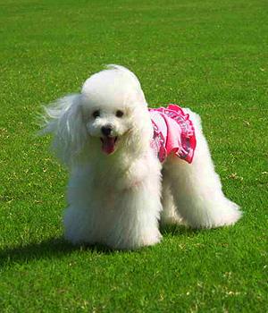 Poodle branco gramado