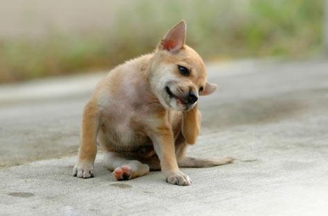 Cachorro se coçando com pulga