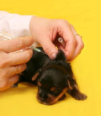 A importância da vacinação em filhotes